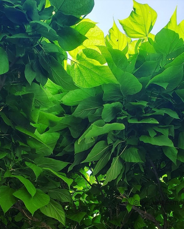 photo of large green leaves on a tree